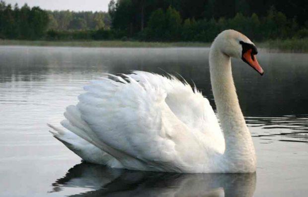 Лебедь шипун - самая крупная птица