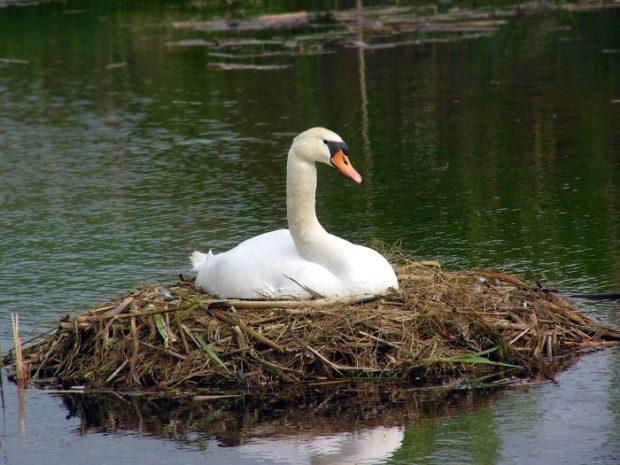 Гнездо лебедя