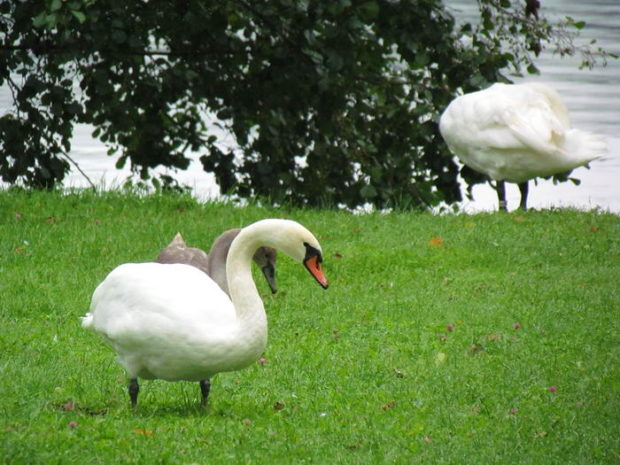 На пастбище лебеди пасутся