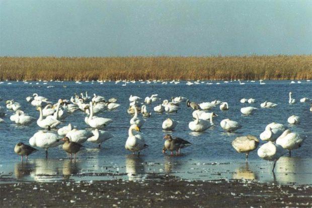 Астраханский заповедник - лебеди
