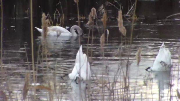Кормежка лебедей на водоеме