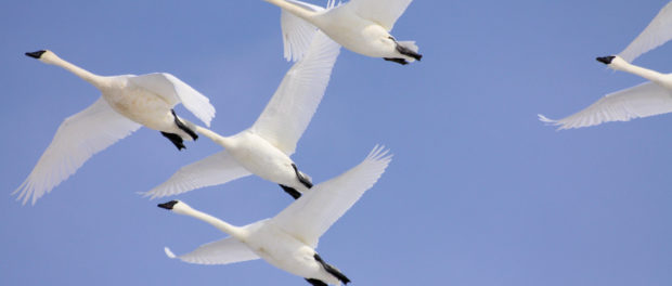 Лебеди летят на зимовку