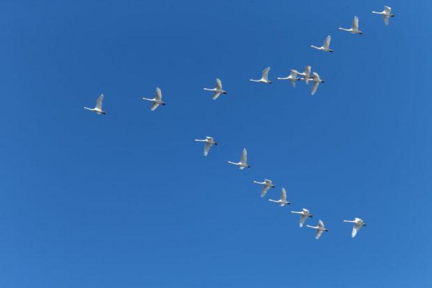 Клин лебедей
