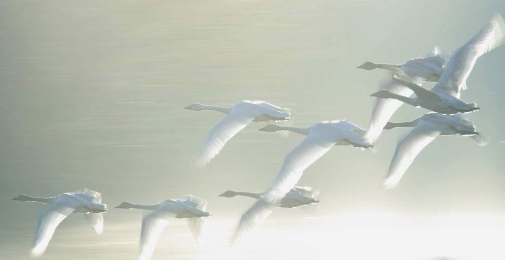 Малые лебеди летят