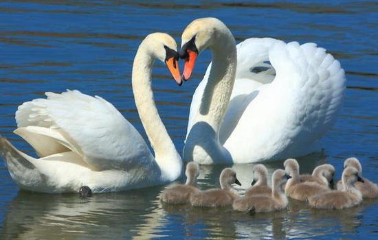 Пара лебедей с выводком