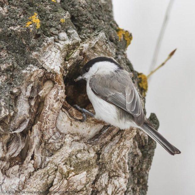 Гнездо пухляка в дупле дерева