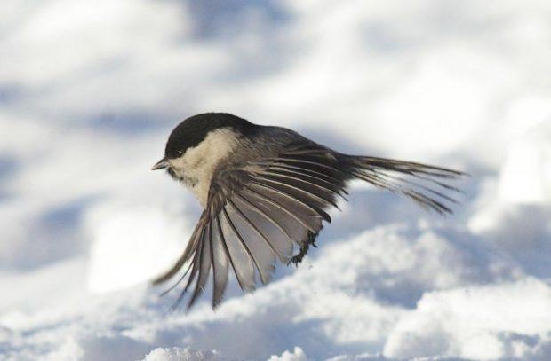 Птичка пухляк