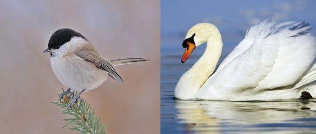Птицы Пухляк и лебедь