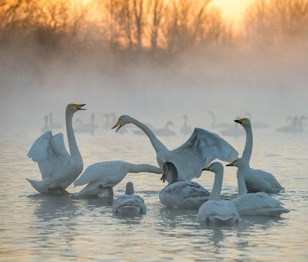 Зимовка на Алтае лебедей