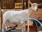 Доение козы аппаратом