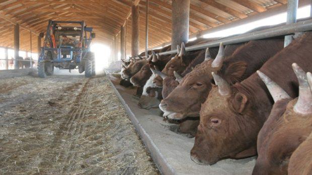 Ферма на 100 голов бычков