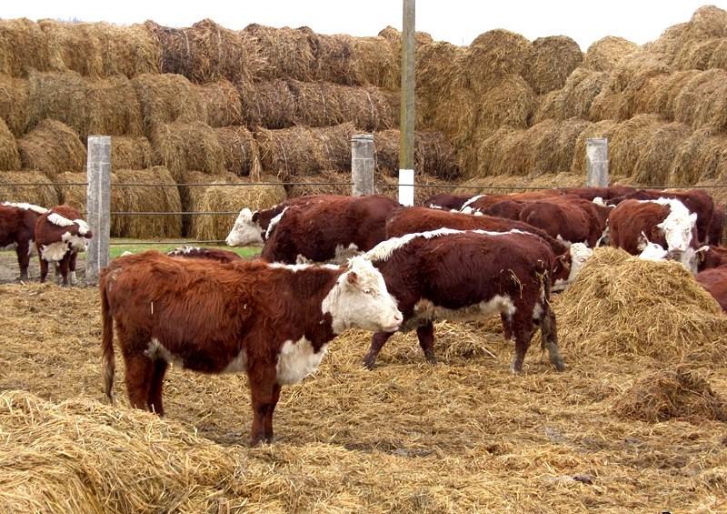 Выращивание телят на мясо в домашних 933