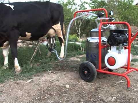 Дойка коровы на выпасе