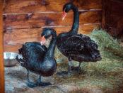 Черные лебеди в домике с сеном