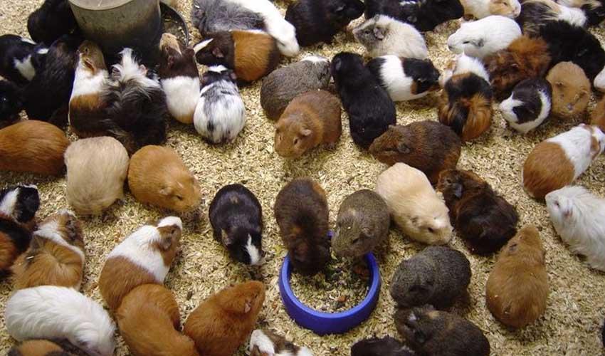 Размножение морских свинок в домашних условиях