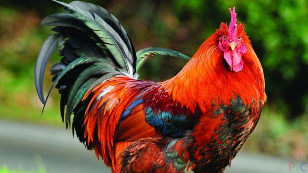 Петух - домашняя птица