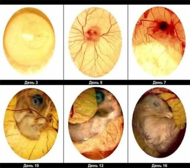 Развитие эмбриона курицы