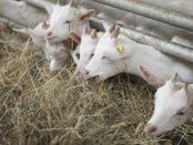 Кормление коз сеном