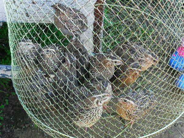 Пойманные кеклики в садке
