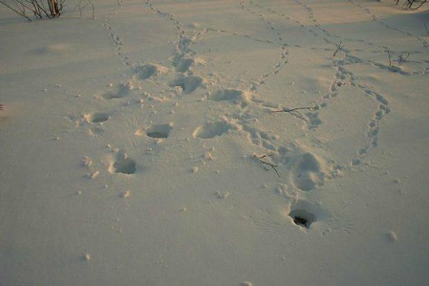 Следы куропаток на снегу