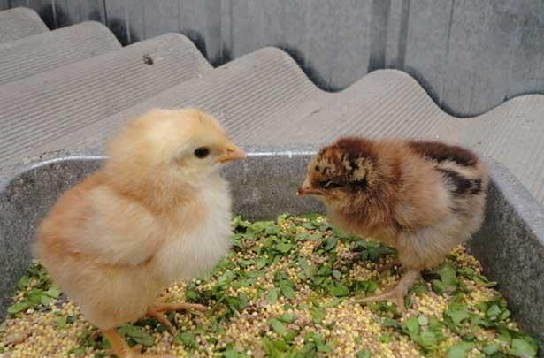 Кормление суточных цыплят в домашних условиях