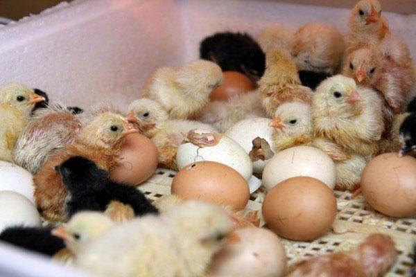 Кормление цыплят - чем и как кормить 37