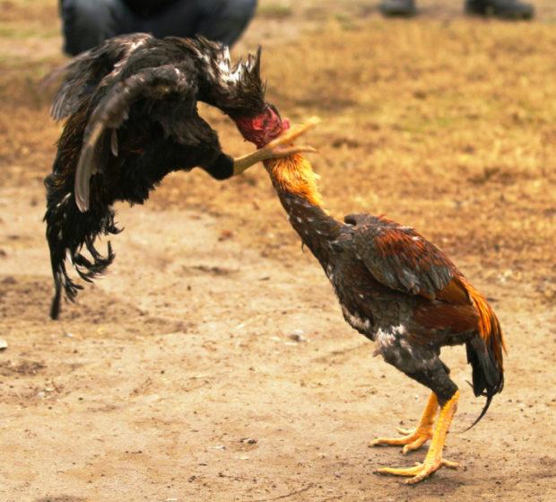 Индийская порода кур
