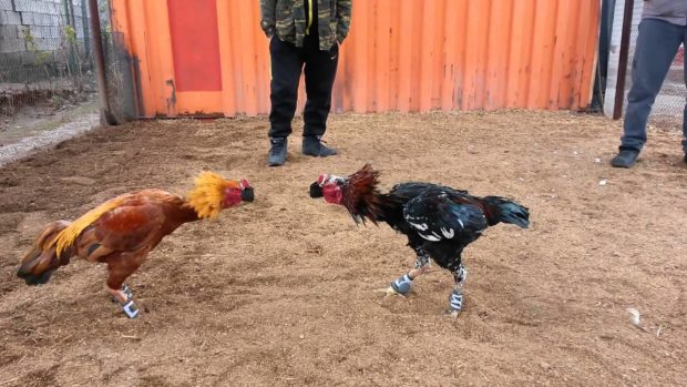 Тренировки бойоцвских кур