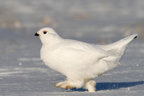 Белая куропатка зимой