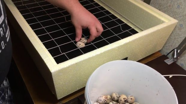 Укладка яиц