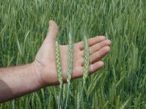 Колоски озимой пшеницы
