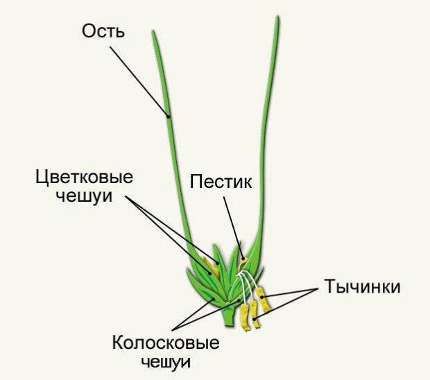 Строение цветка пшеницы