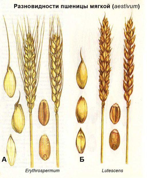 Остая и безостая пшеница