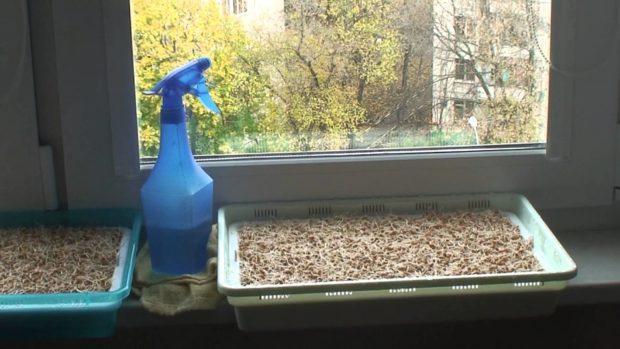 Проращивание на окне