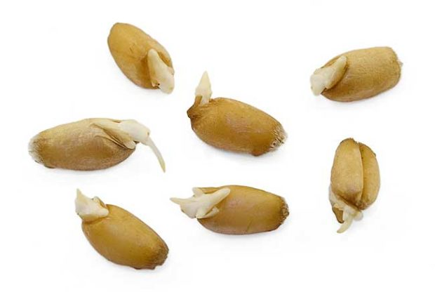 Проращивание зерна пшеницы