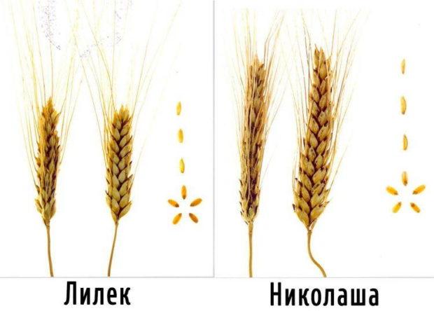 Сорта твердой пшеницы