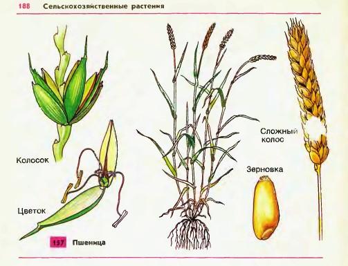 Строение куста пшеницы