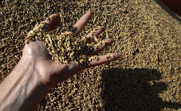Зараженная пшеница