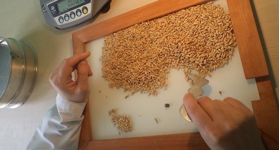 Анализ пшеницы в лаборатории