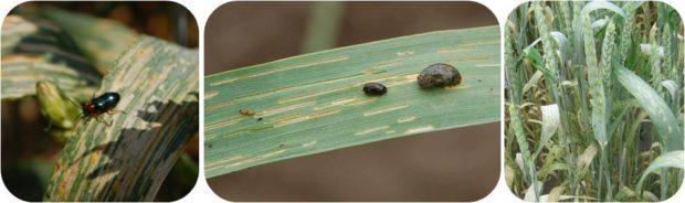 вредители пшеницы фото