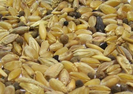 Зерно спельты
