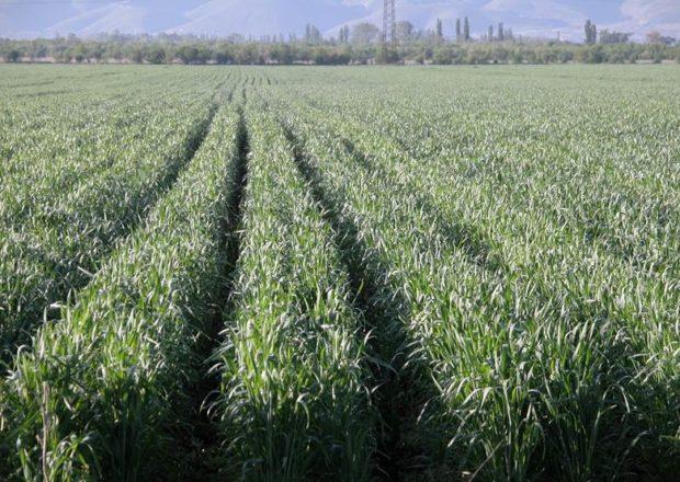 Гребнева технология выращивания