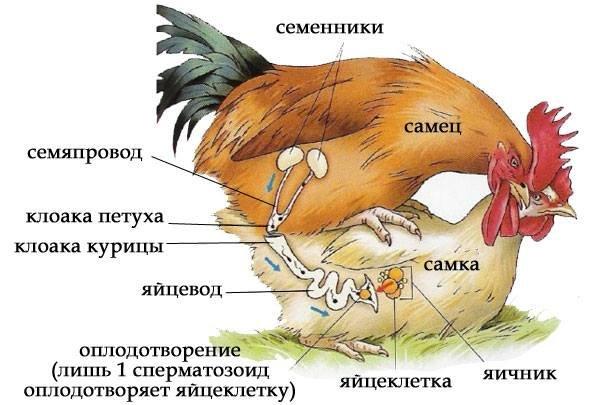 Что происходит, когда петух топчет курицу