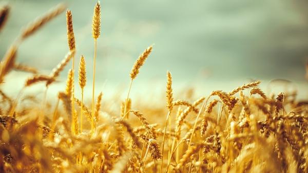 Созревание пшеницы