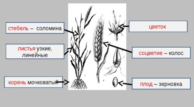 Строение растения пшеницы