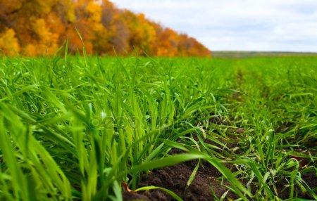 Поде озимой пшеницы осенью