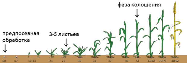 Фазы роста пшеницы