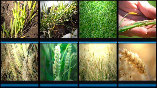 Стадия развития пшеницы