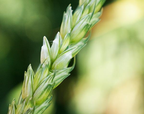 Наливание зерна