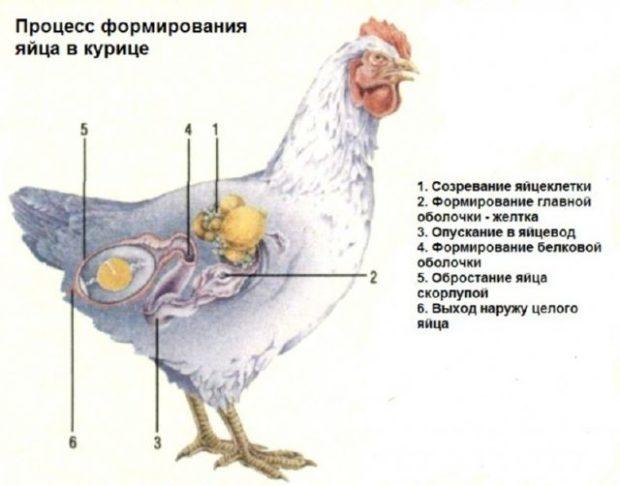 Развитие яйца в курице